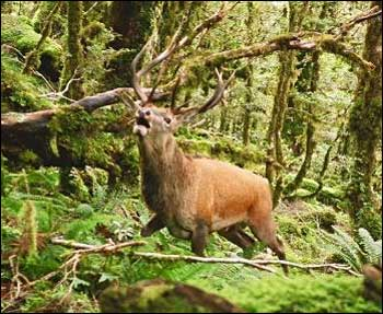 Tararua 9 Point Red Stag